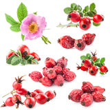 Dog rose (Rosa canina) flowers and fruits Royalty Free Stock Images