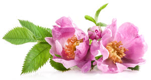 Dog rose (Rosa canina) flowers Royalty Free Stock Image