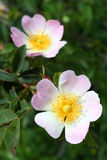 Dog rose (Rosa canina) flowers Stock Photo