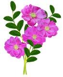 Dog rose (Rosa canina) Stock Photo
