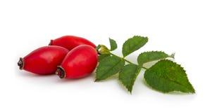 Dog rose (Rosa canina) fruits on a white background Royalty Free Stock Images