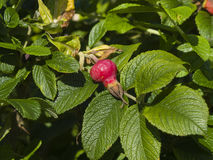Dog Rose, Rosa Canina, ripe hip on branch with leaves close-up, selective focus, shallow DOF Stock Photography