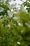 Dog Rose, Rosa canina stock image