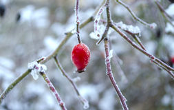 Dog rose, Rosa canina, on a winter day. Brier in snow. Briar in hoarfrost. Winter background. Branches with red berry of wild rose Royalty Free Stock Photos