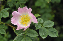 Dog Rose Stock Photo