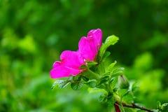 Dog Rose, Rose Bloom, Blossom Stock Photo
