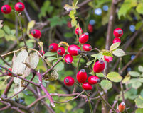 Dog rose with rose hips Stock Image