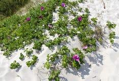 dog-rose on a sand dune Royalty Free Stock Image