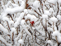 Dog-rose, snowy russian winter in central Russia, trees and bushes Royalty Free Stock Photos