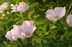 Dog rose in the summer Royalty Free Stock Photos