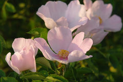 Dog rose in the summer Stock Photos