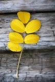 Dog rose twig Royalty Free Stock Images