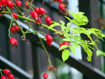 Dog Rose twigs with shiny fruits Royalty Free Stock Photography