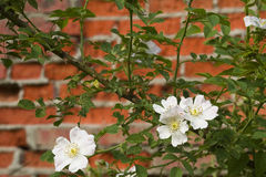 Dog rose on the wall Royalty Free Stock Image