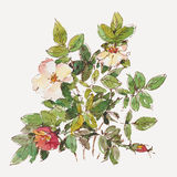 Dog rose Royalty Free Stock Photos