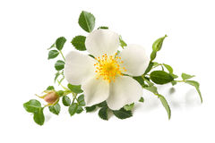 Dog rose Stock Images