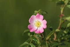 Dog rose wild flower Stock Image