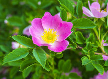 Dog-rose Royalty Free Stock Images