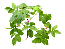 Dog Rose With Leafs And Buds Royalty Free Stock Photo