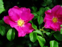 Dog roses Stock Image