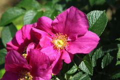 Dog Roses Royalty Free Stock Images