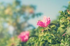 Dog roses with blue sky Royalty Free Stock Images
