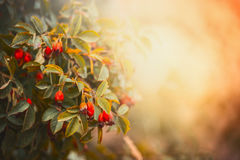 Dog roses with red fruits and berries at sunset in garden or park. Pretty autumn nature Stock Photo
