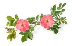 Dog roses Stock Photo