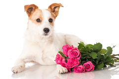 Dog with roses royalty free stock photos