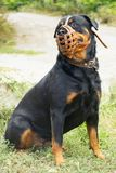 Muzzle  rottweiler pedigree. Dog Rottweiler breed in muzzle sits on the grass and looks away Royalty Free Stock Photo