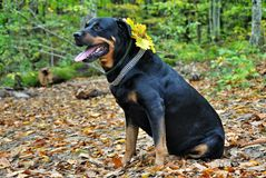 Dog rottweiler in fallen autumn leaves Stock Photos