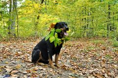 Dog rottweiler in fallen autumn leaves Royalty Free Stock Photography