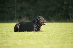 Dog, Rottweiler, lying on grass Royalty Free Stock Image