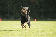 Dog, Rottweiler, running with sorting stick in his mouth Stock Image