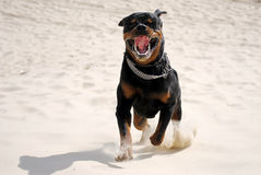 A dog rottweiler Royalty Free Stock Photos