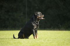 Dog, Rottweiler, sitting on grass Stock Photo