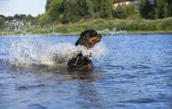 Dog rottweiler Royalty Free Stock Images