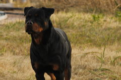 Dog. Rottwiller pretty dog stock images