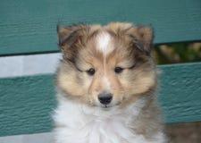 Dog, Rough Collie, Dog Like Mammal, Scotch Collie