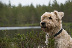 Dog in the rough stock images
