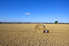 Dog and round bale Stock Image