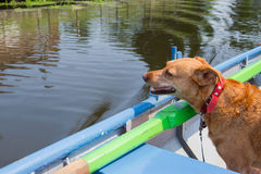Dog in rowing boat. Brown cross breed dog in rowing boat on the river Stock Images