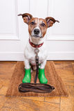 Dog rubber rain boots. Dog with green rubber rain boots waiting to go walkies in the rain and cold weather stock photography