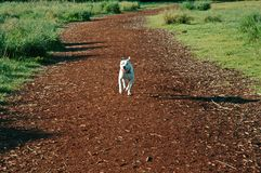 Dog on the Run! Stock Images