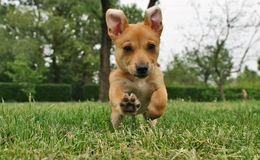 Dog in run Stock Photography