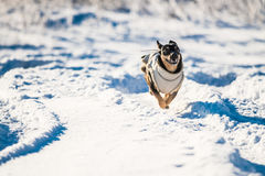 Dog run in air. Dog in winter with clothes run in snow stock photo