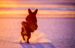 Free Dog Run And Jump In Winter Sunset Stock Image - 132990741