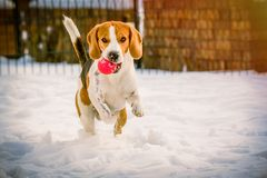 Happy beagle dog run with a ball on the snow. Dog run with a ball close up in a garden towards the camera stock image