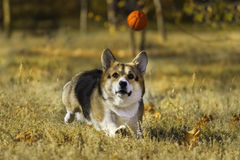 Dog run  after a ball Royalty Free Stock Photos