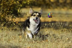 Dog run  after a ball Royalty Free Stock Images